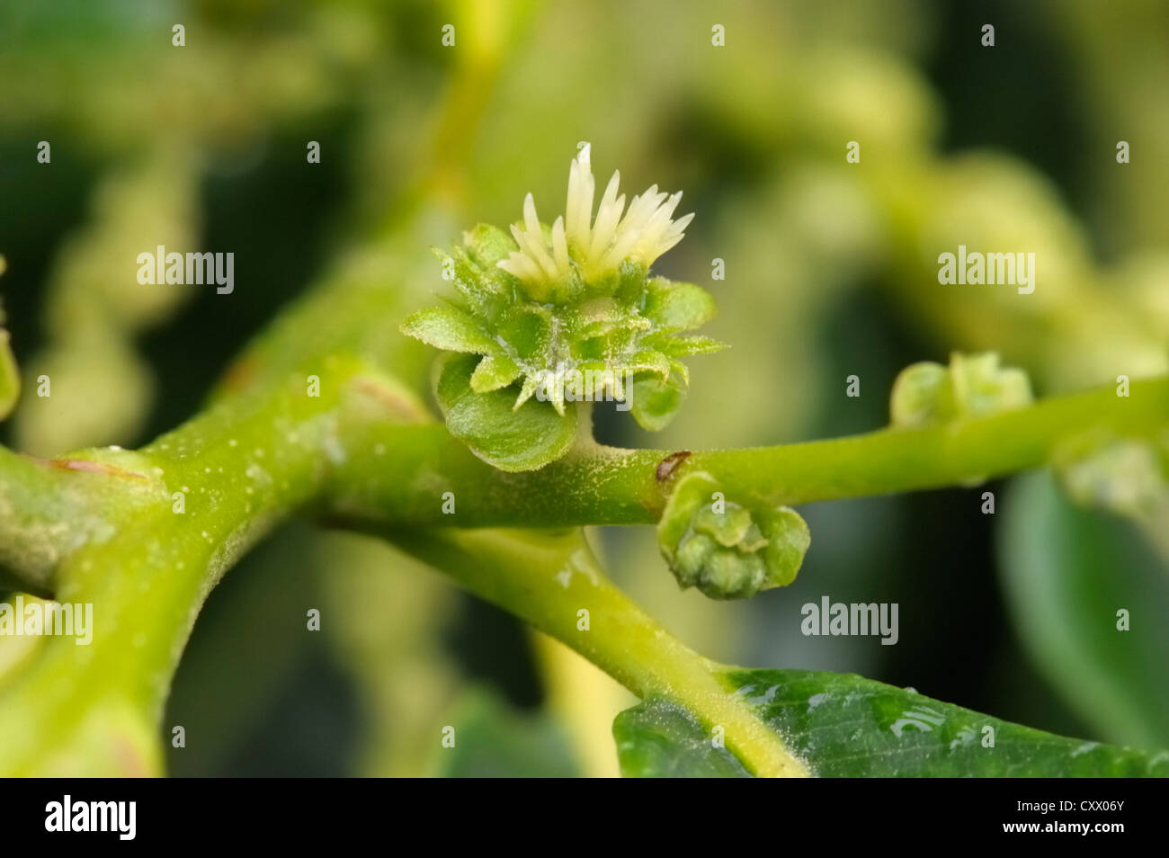 Sweet Chestnut, Castanea sativa, female flower Stock Photo