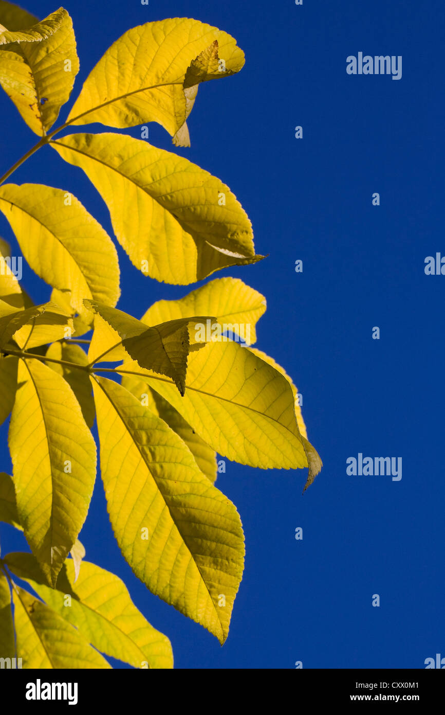 Carya sp. Autumnal leaves of the Hickory tree against a blue sky. - Stock Image