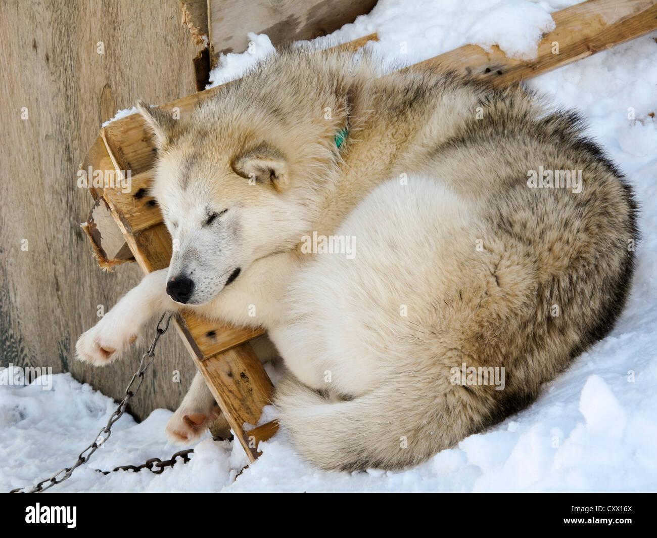 Sleeping Husky asleep in Greenland - Stock Image