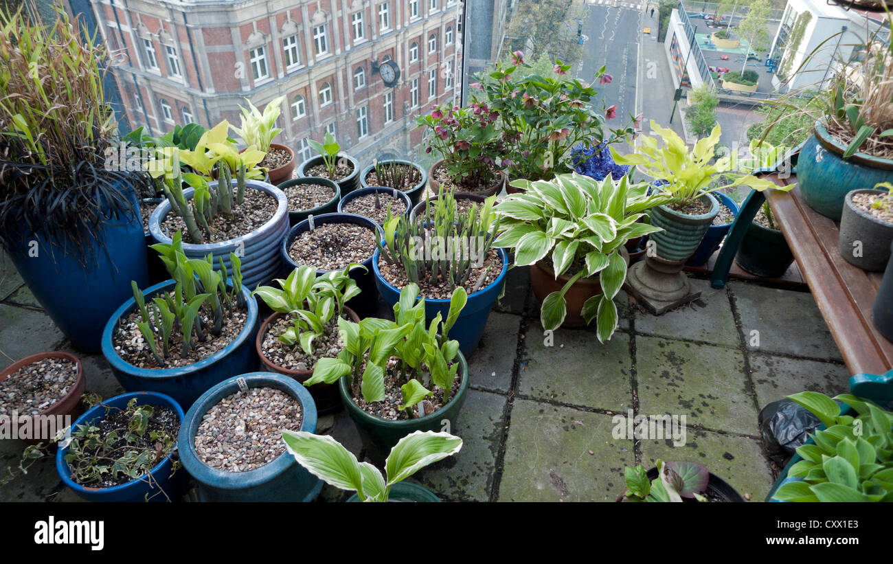 Grouped Garden Pots Of Hostas And Various Plants Growing In A Group On A  Barbican Balcony Garden In Spring In London, England, UK KATHY DEWITT