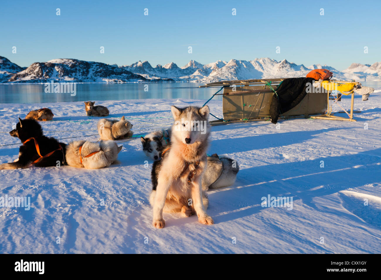 Huskies in harness resting with sled in Greenland - Stock Image