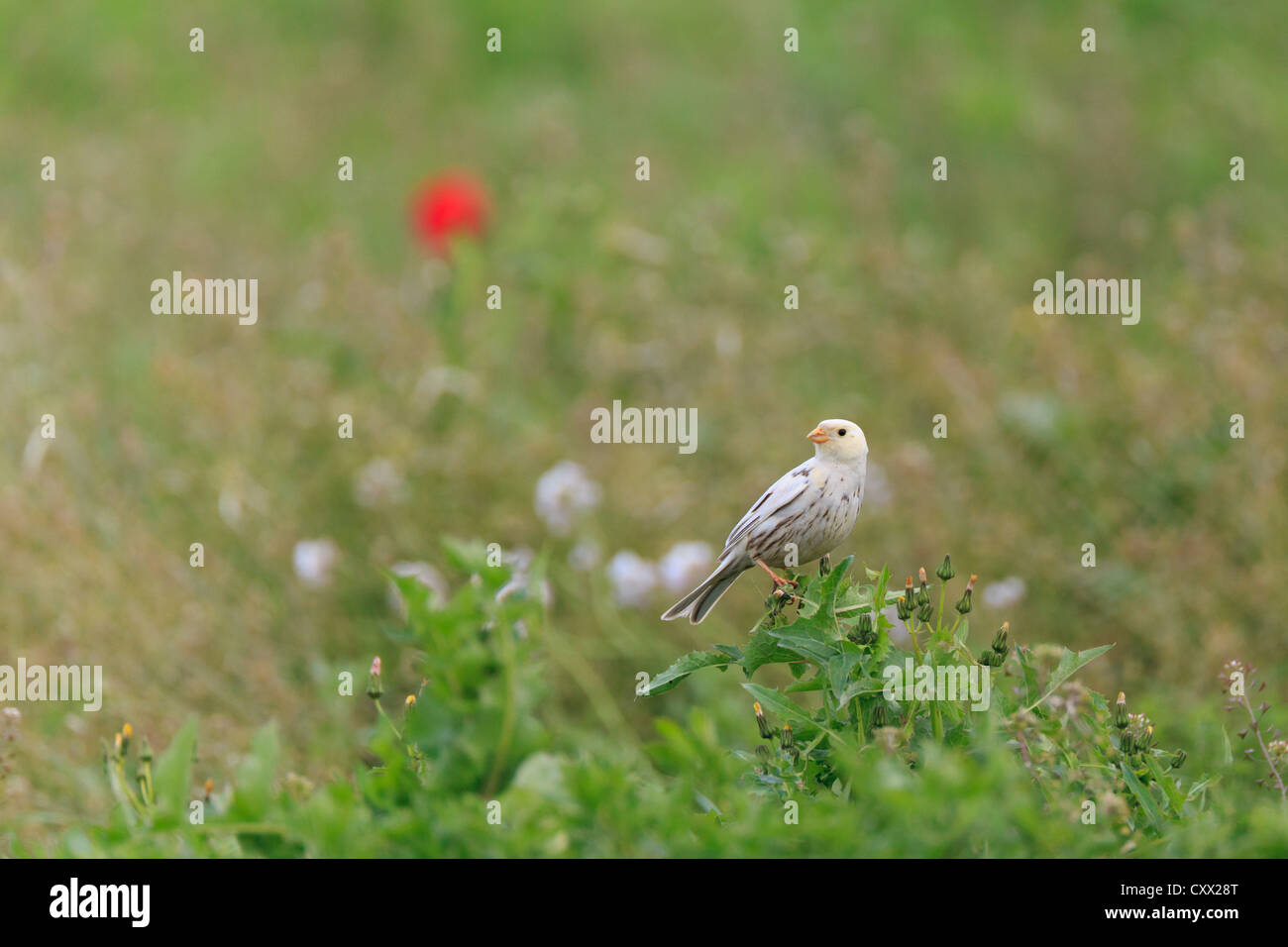 Partially leucistic Corn Bunting (Emberiza calandra) perched on bush. Lleida. Catalonia. Spain. - Stock Image