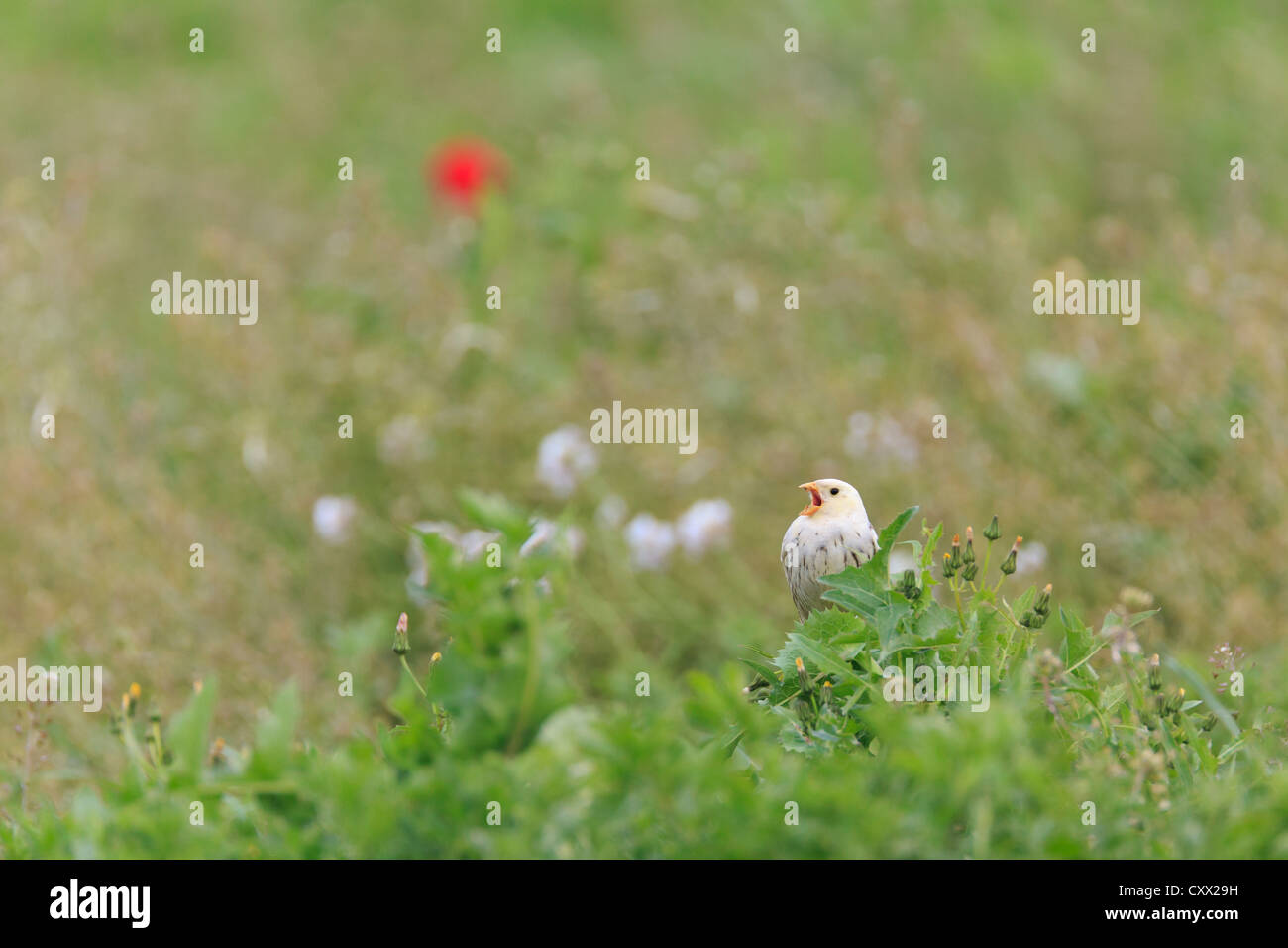 Partially leucistic Corn Bunting (Emberiza calandra) perched on bush and singing. Lleida. Catalonia. Spain. - Stock Image