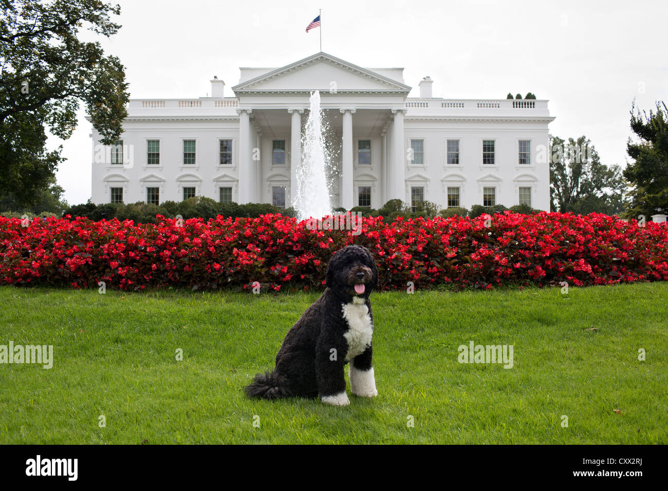 Bo, the Obama family dog poses for a photo September 28, 2012 on the North Lawn of the White House. - Stock Image
