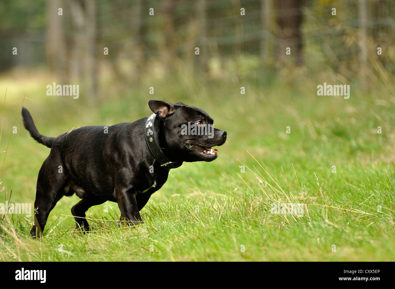 Staffordshire Bull Terrier moving through grass - Stock Image