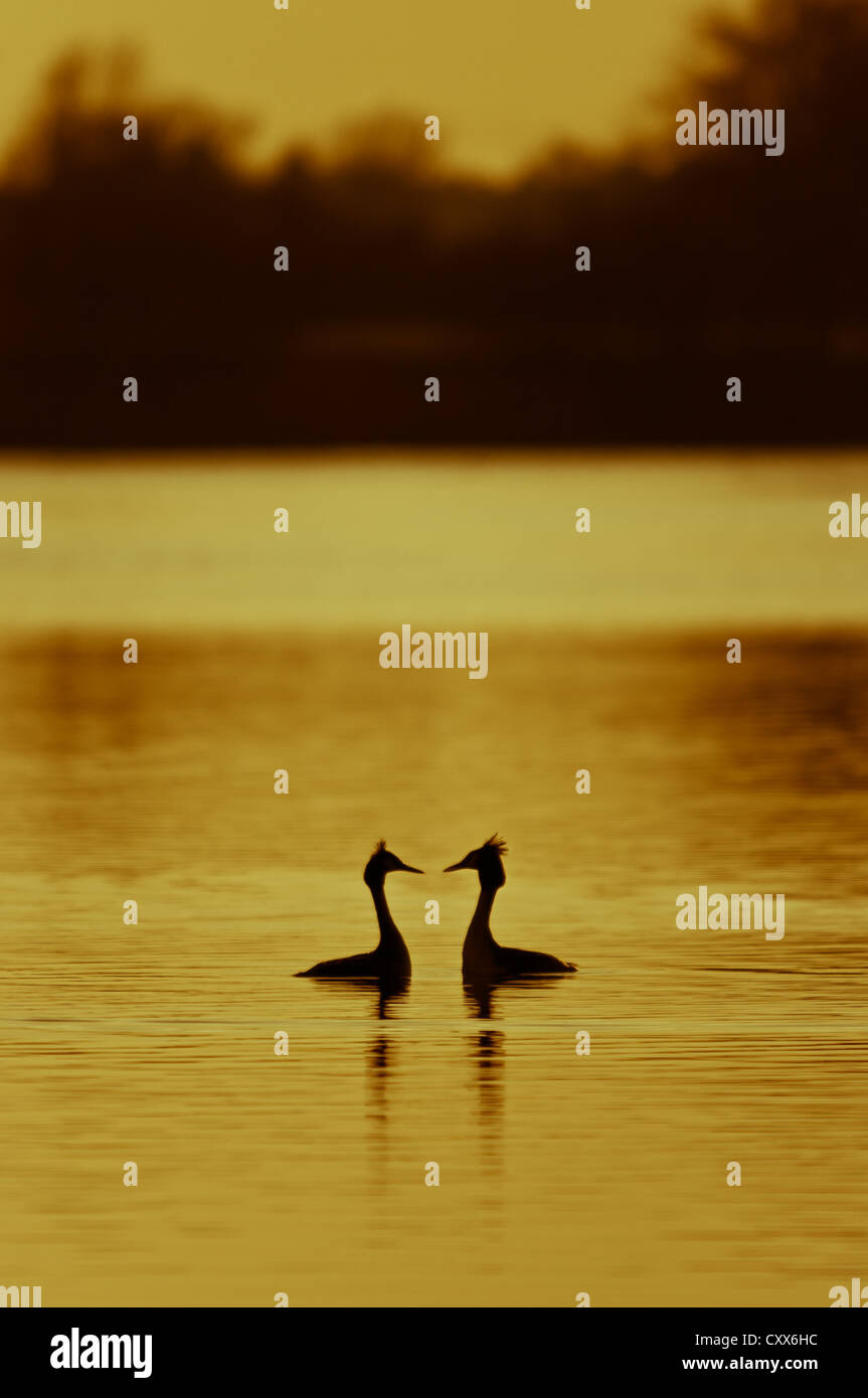 Courting Great Crested Grebes at sunset - Stock Image