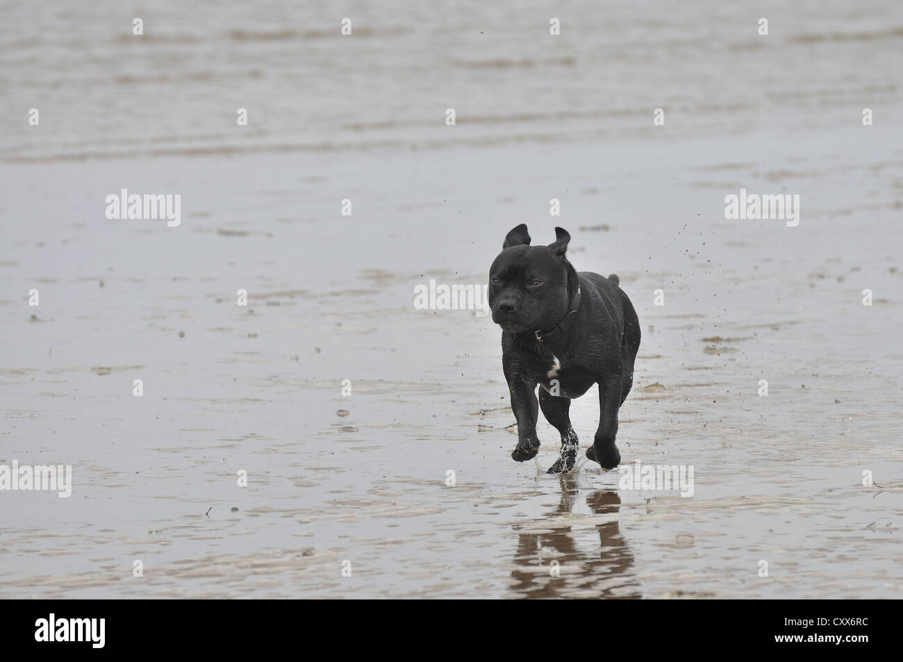 Staffordshire Bull Terrier running on wet beach - Stock Image