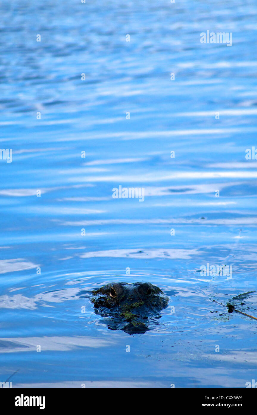 Alligator in Lake Alice on the University of Florida campus - Stock Image