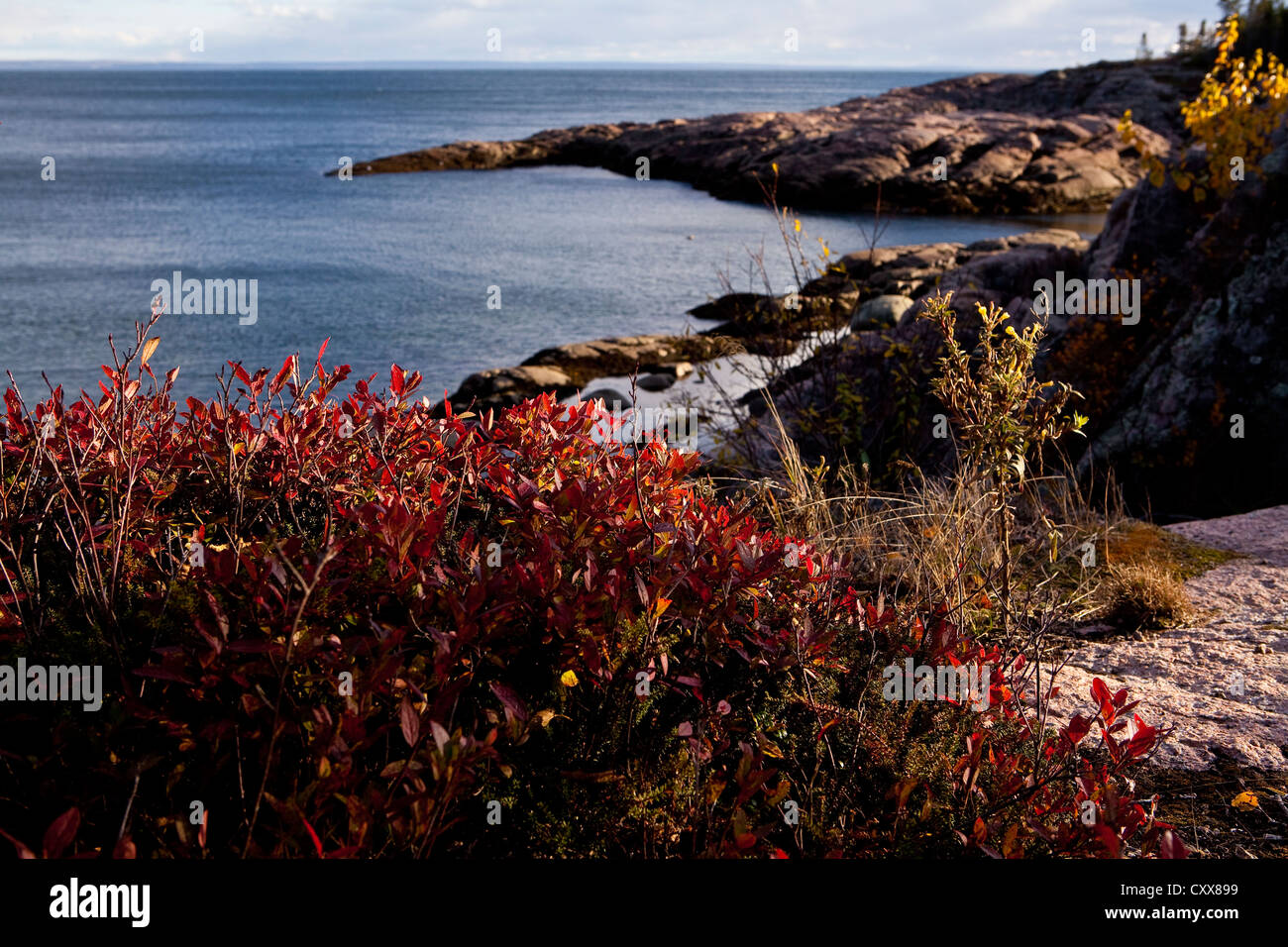 Vaccinium angustifolium are pictured on the coast of the St. Lawrence river in Essipit, - Stock Image