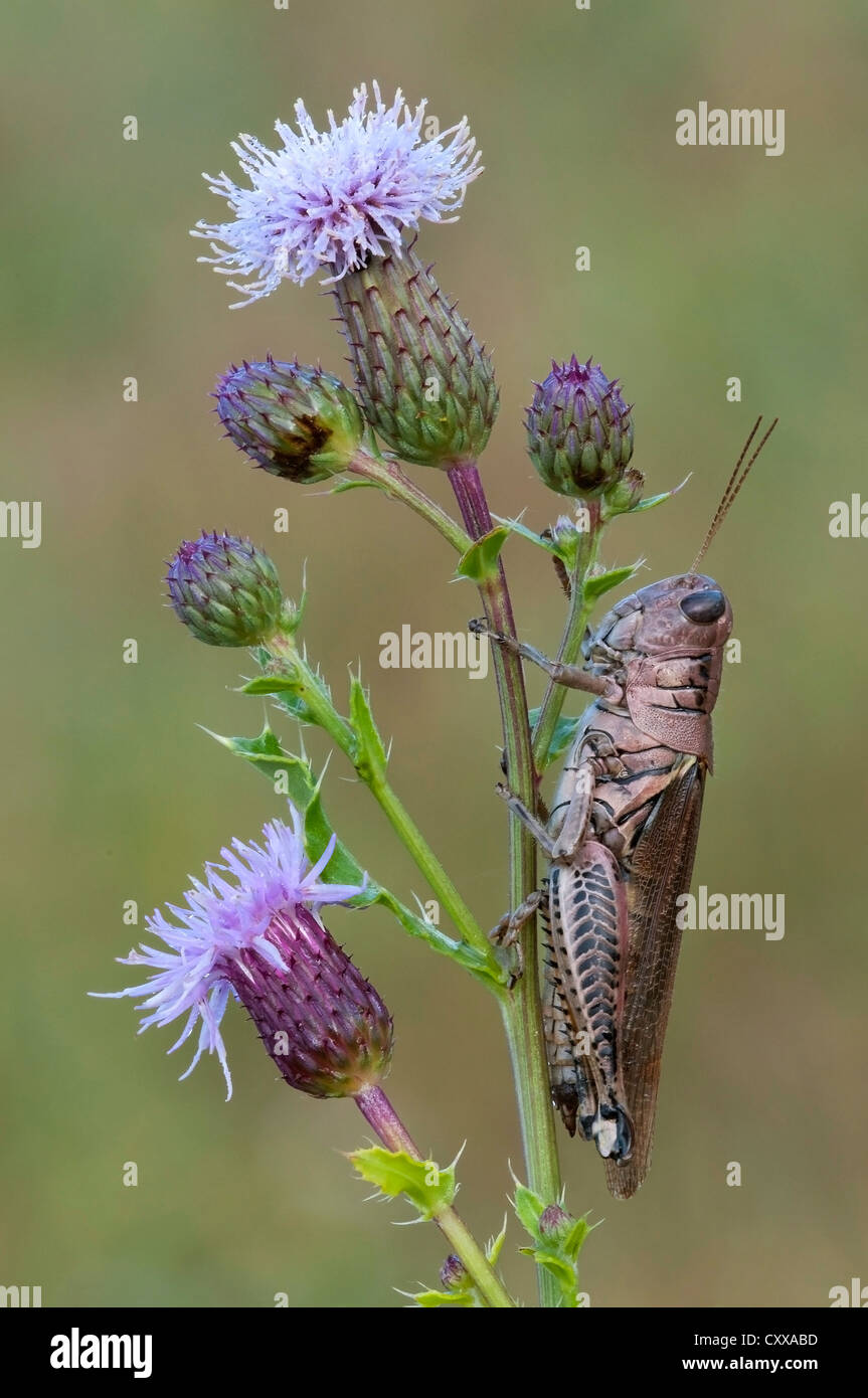Differential Grasshopper Melanoplus differentialis Canada Thistle Cirsium arvense E USA - Stock Image