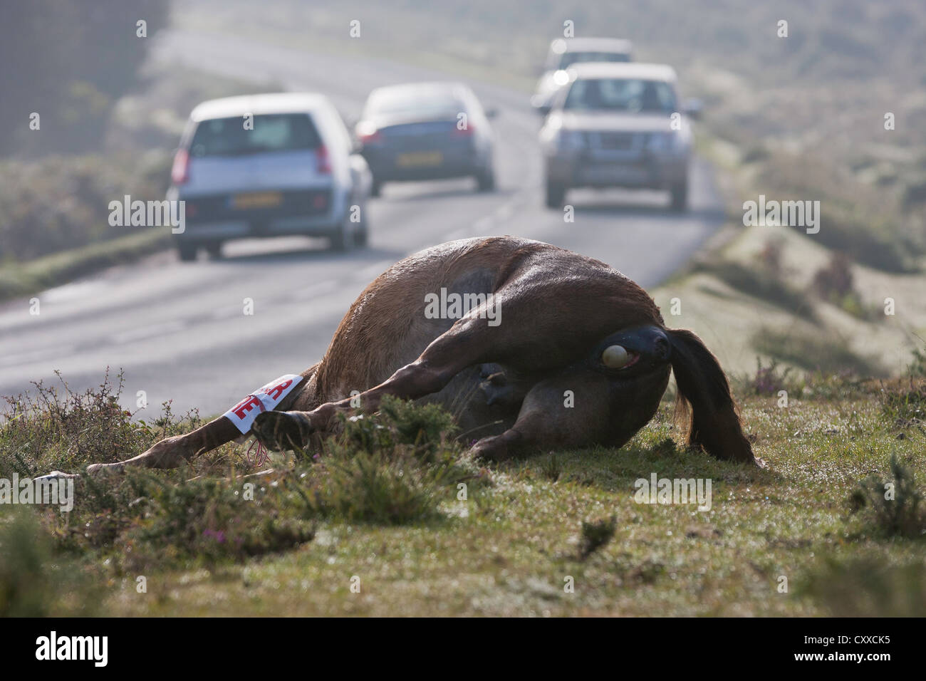 A pony has been hit and killed on the road by a car or lorry in the New Forest National Park, UK Stock Photo