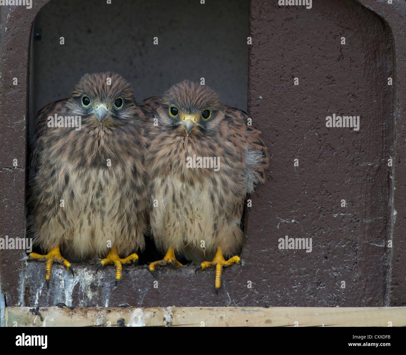 Common Kestrels (Falco tinnunculus), Bitburg, Rhineland-Palatinate - Stock Image