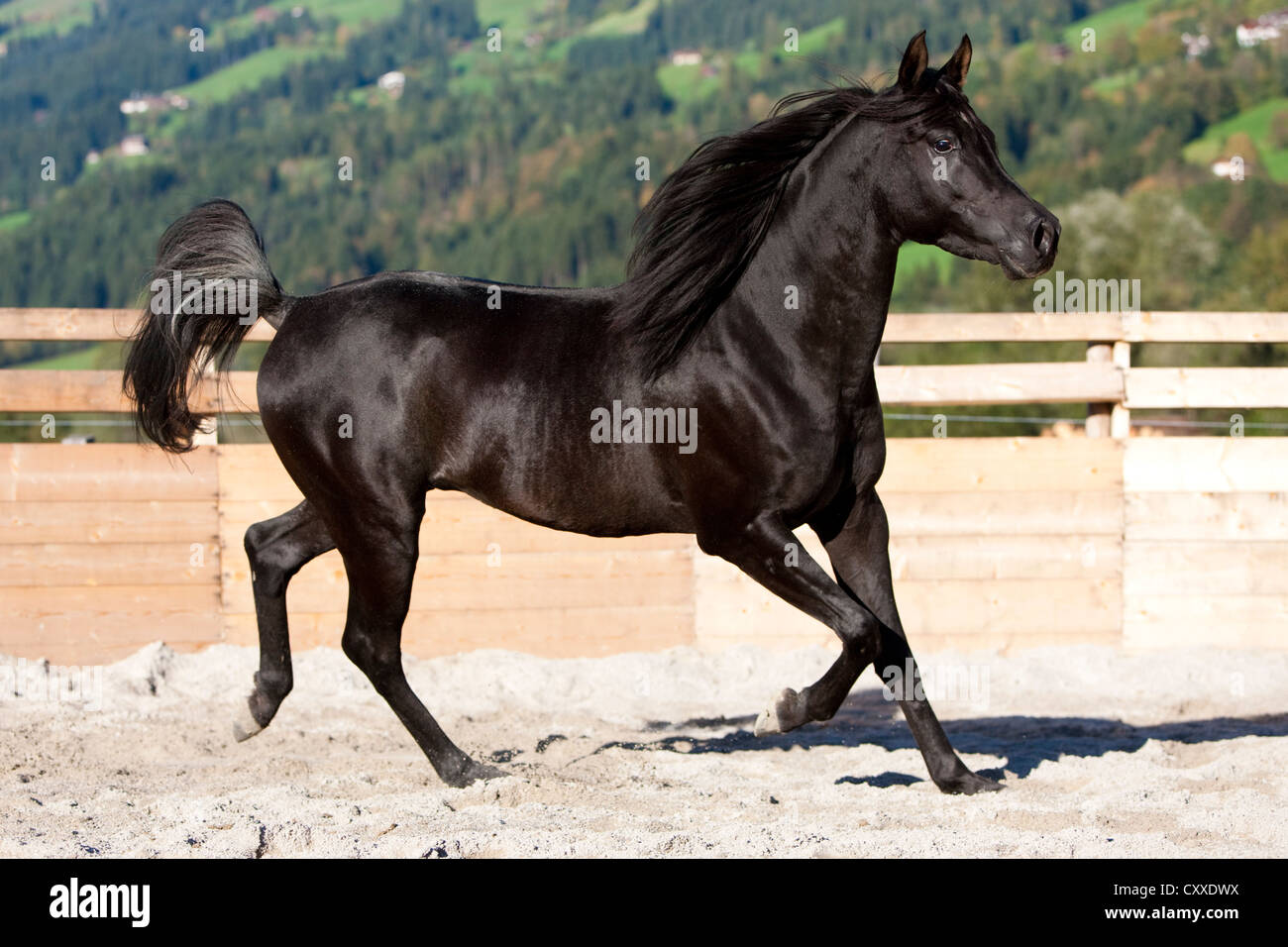 Black Arabian Horse High Resolution Stock Photography And Images Alamy