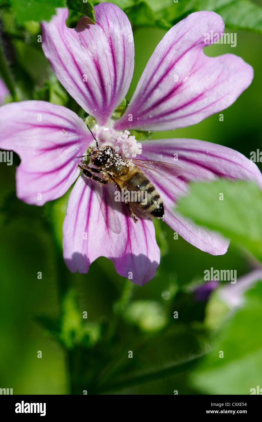 Honey bee, Buckfast bee (Apis mellifera) covered with pollen on a mallow flower (Malva sylvestris) - Stock Image