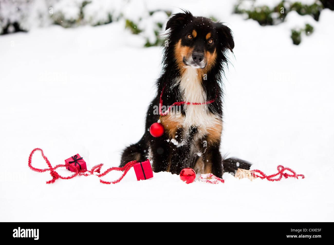 Australian Shepherd Christmas Ornament.Australian Shepherd Sitting In The Snow With Christmas