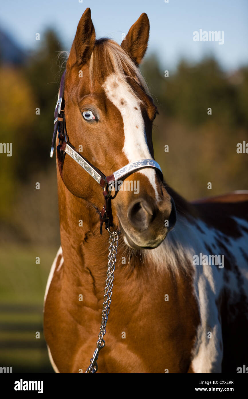 Paint Horse mare, sorrel tobiano spotted, fish eye, portrait wearing a show halter, North Tyrol, Austria, Europe - Stock Image