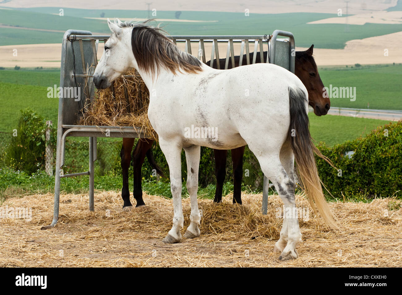 Lusitanos, grey and brown horse eating from hay rack, Andalucia, Spain, Europe - Stock Image
