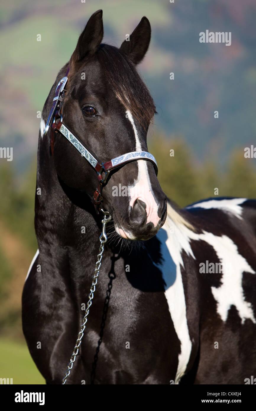 Horse Black And White Stock Photos Horse Black And White Stock