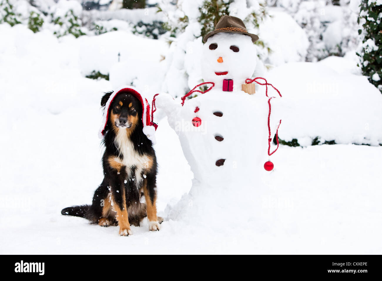 Australian Shepherd with christmas cap sitting next to a snowman with Christmas decorations in the snow, North Tyrol, - Stock Image
