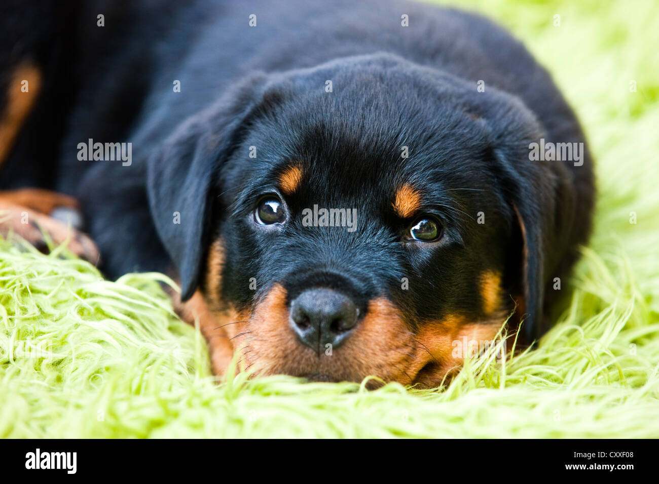 Rottweiler puppy dog lying in a dog bed, North Tyrol, Austria, Europe - Stock Image
