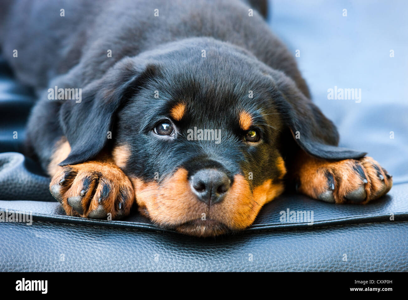 Rottweiler Puppy Dog Lying In A Dog Bed North Tyrol Austria