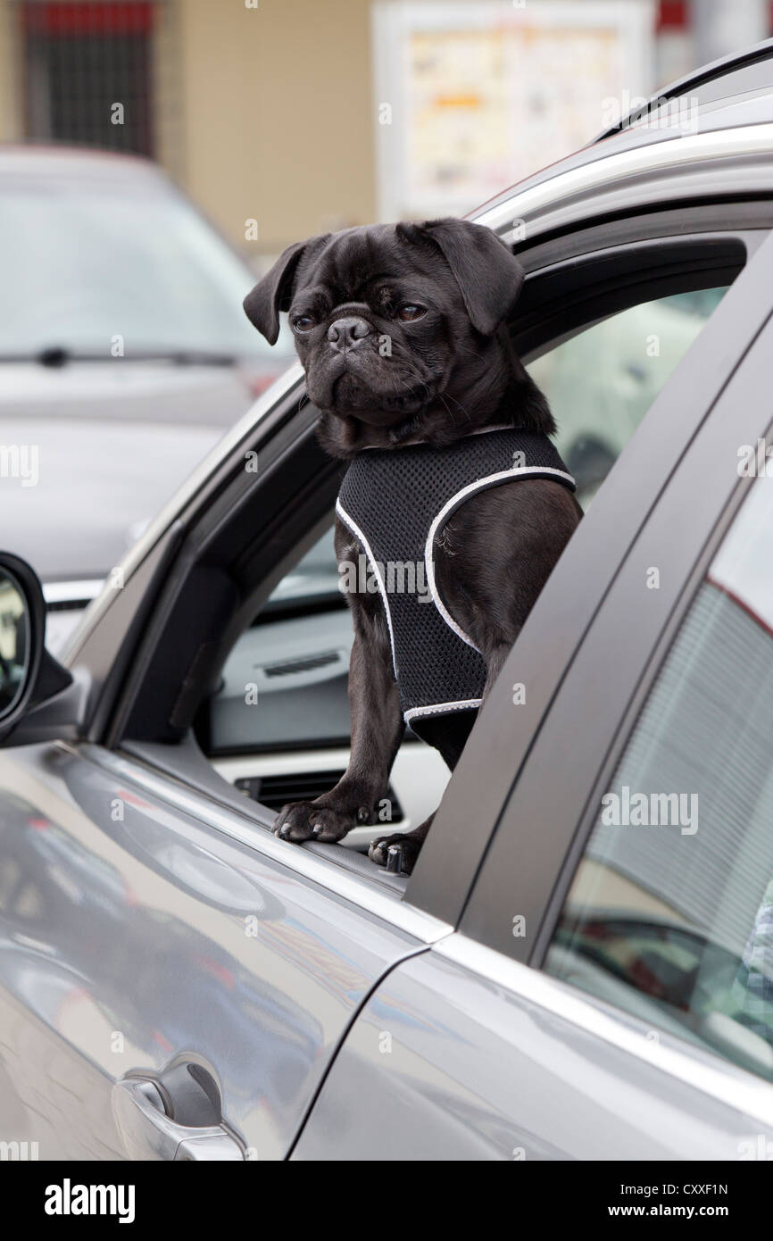 Young black pug looking out of a car window - Stock Image