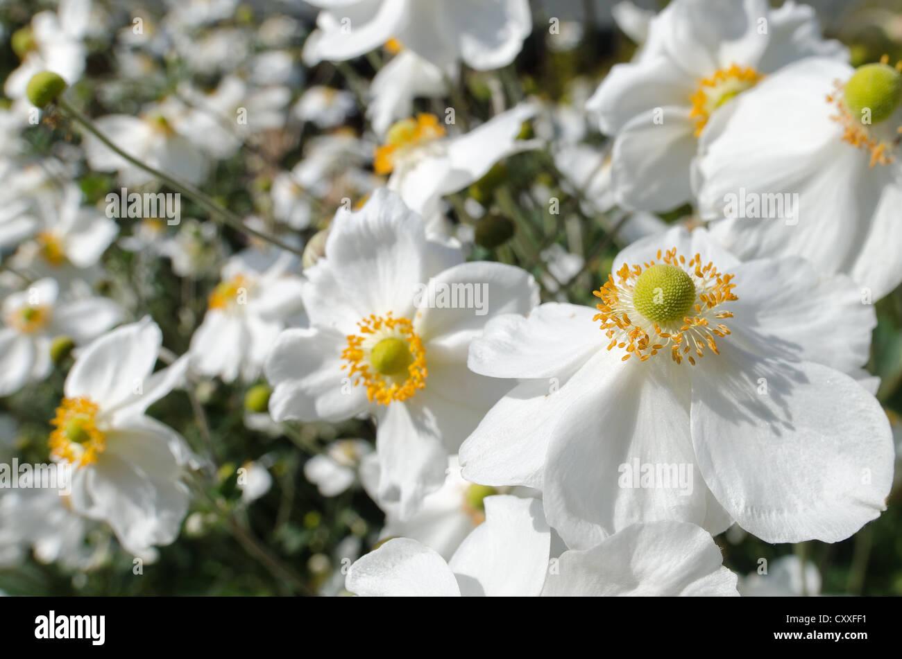 White Japanese Anemone Flower Known As Anemone Hupehensis Mature