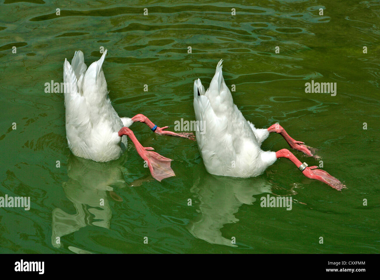Two white ducks with heads under water, synchronized swimming - Stock Image
