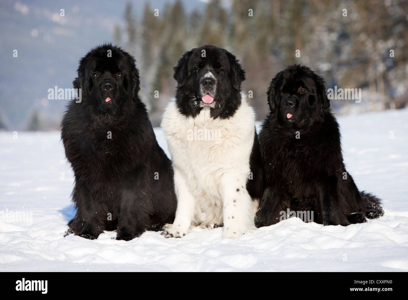 Three Newfoundland dogs sitting in the snow, North Tyrol, Austria, Europe, NON EXCLUSIVE USAGE: CALENDAR, WORLDWIDE, - Stock Image