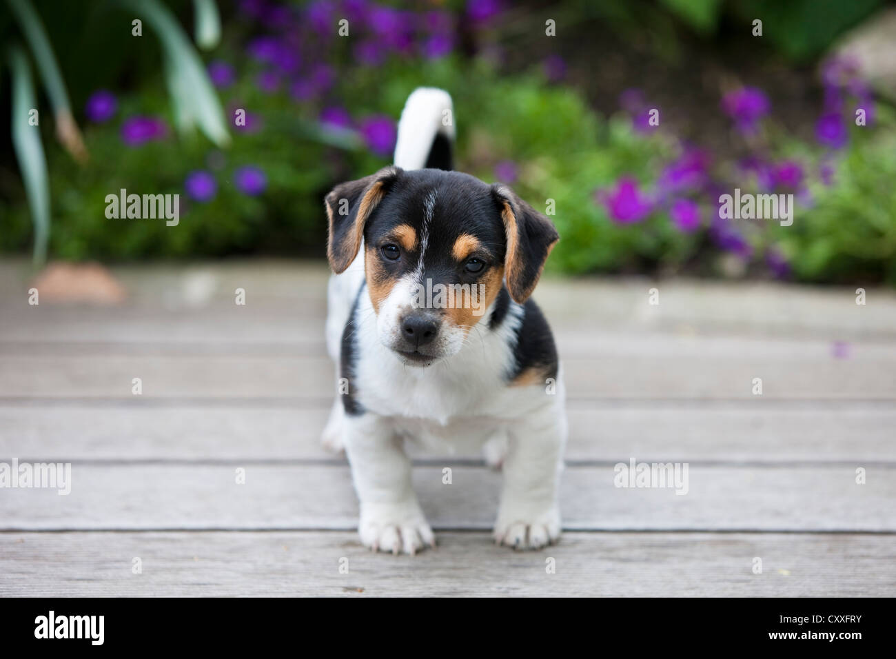 Jack Russell Terrier, puppy standing on wooden floor, northern Tyrol, Austria, Europe, NON EXCLUSIVE USAGE: CALENDAR, - Stock Image