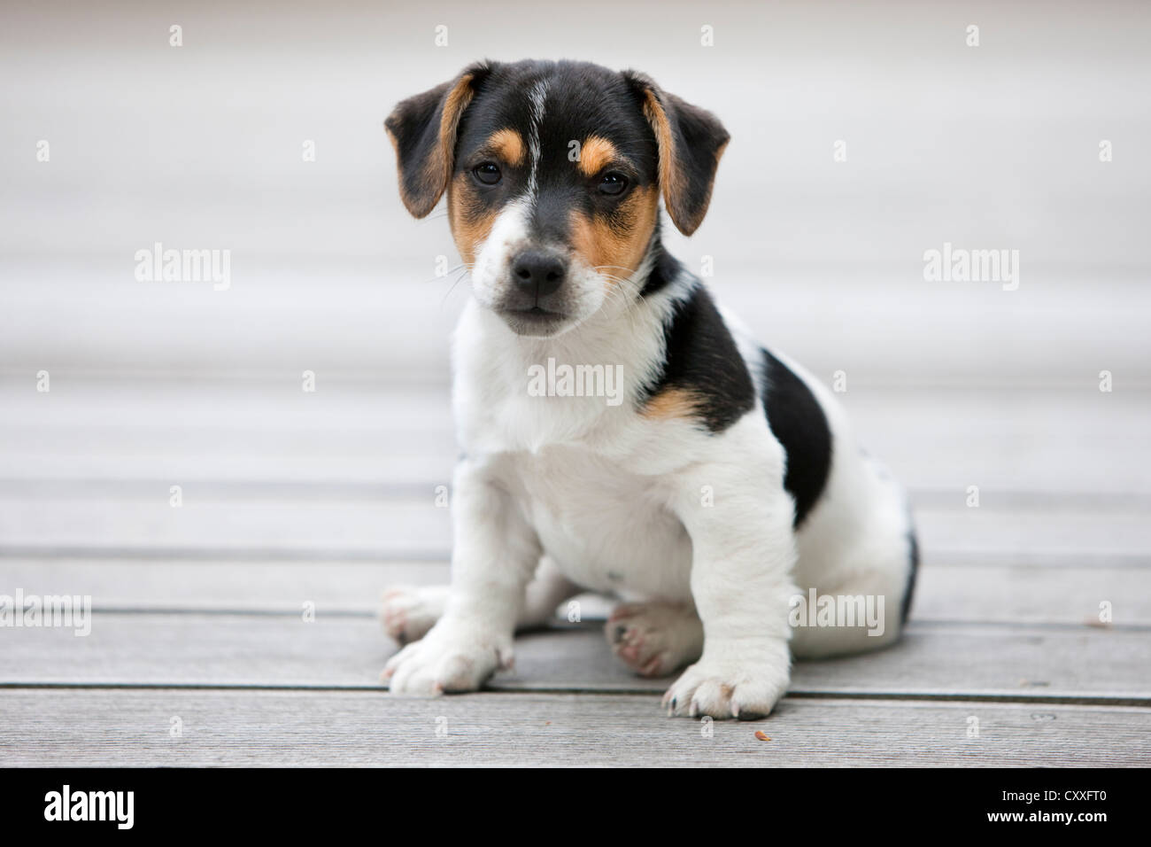 Jack Russell Terrier, puppy sitting on wooden floor, northern Tyrol, Austria, Europe, NON EXCLUSIVE USAGE: CALENDAR, - Stock Image