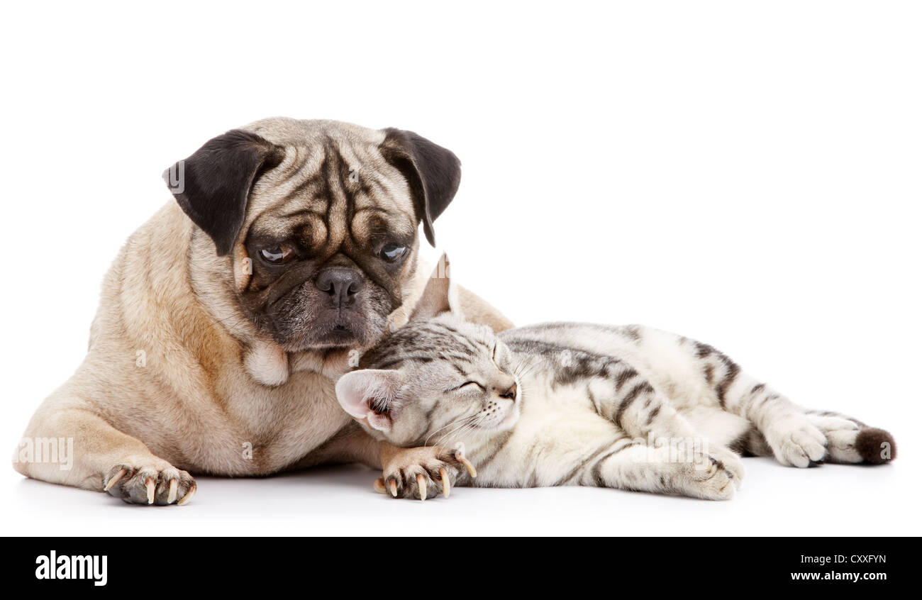 cat take a nap while pug looking after - Stock Image