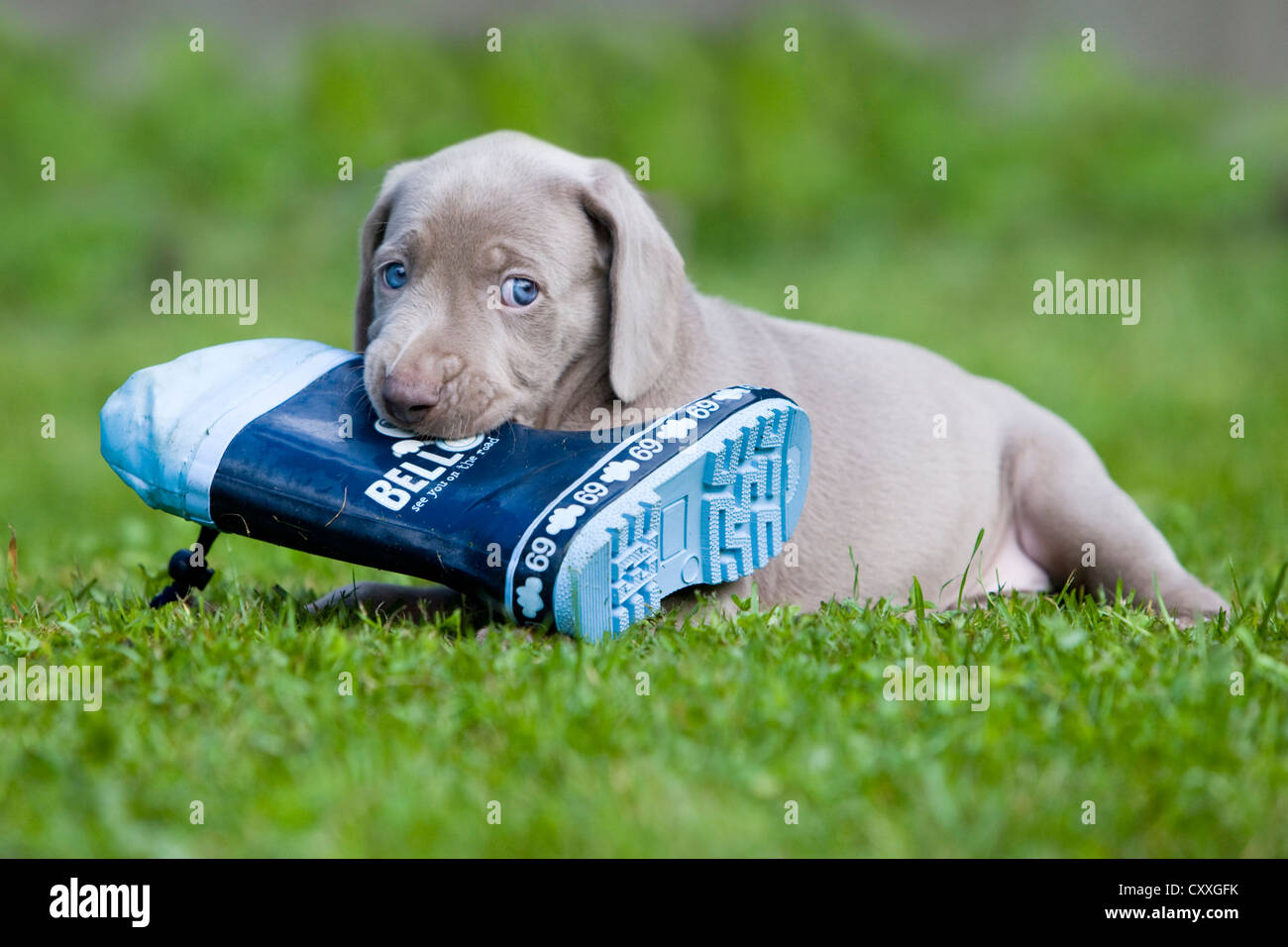 Weimaraner dog, puppy, playing with a rubber boot, North Tyrol, Austria, Europe Stock Photo