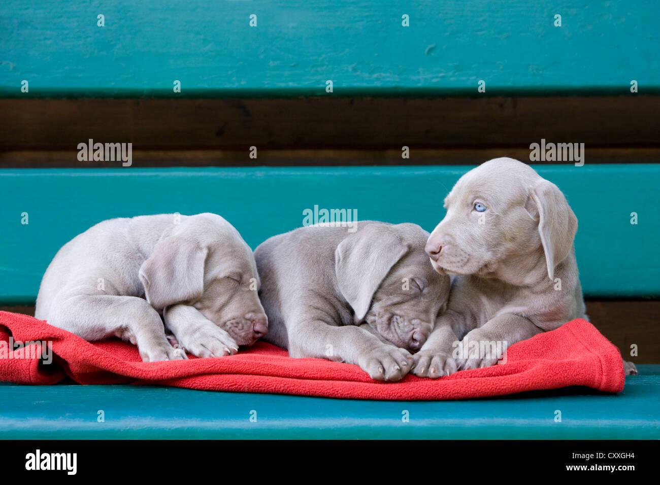 Weimaraner dogs, puppies, sleeping on a bench, North Tyrol, Austria, Europe - Stock Image