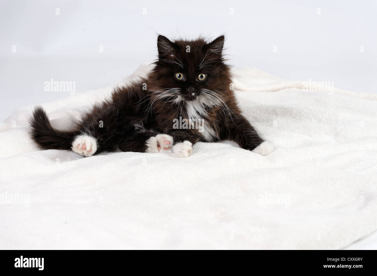 Young longhaired black and white cat Stock Photo