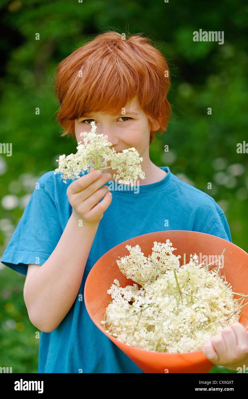 Boy with freshly picked elderflowers (Sambucus nigra) - Stock Image