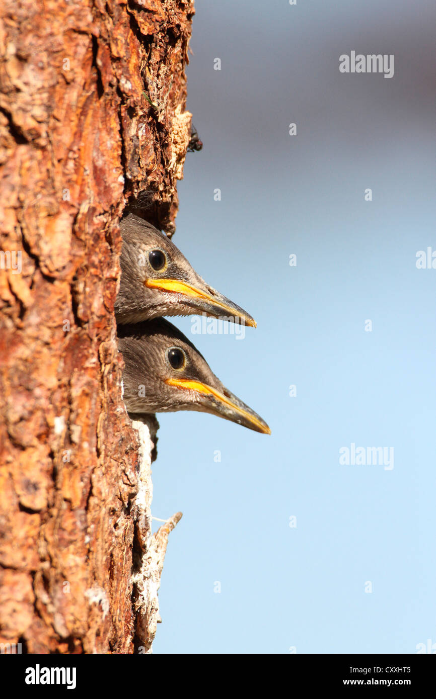 Juvenile starlings (Stunus vulgaris) looking out of nesting hole, Allgaeu region, Bavaria Stock Photo