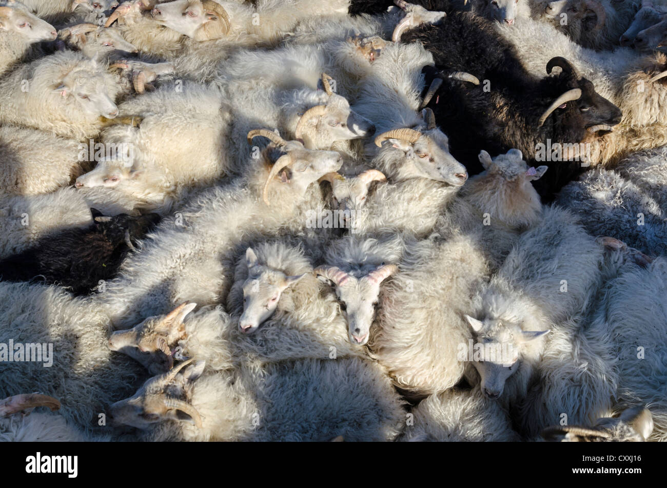 Black sheep among white sheep, flock of sheep near Kirkjubæjarklaustur, southern Iceland, Iceland, Europe - Stock Image