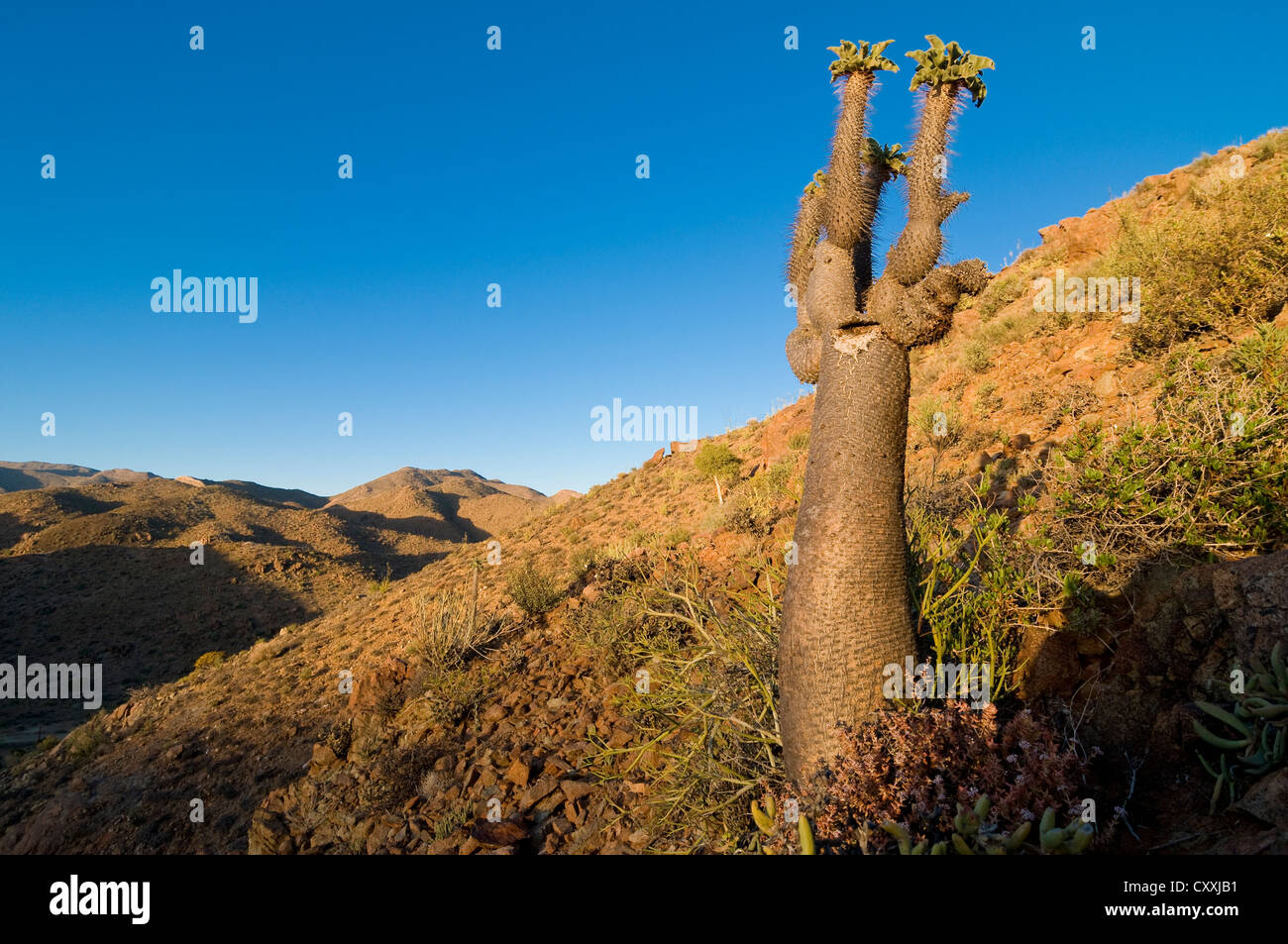 Halfmens or Elephant's Trunk (Pachypodium namaquanum), Richtersveld National Park, Northern Cape, South Africa, - Stock Image