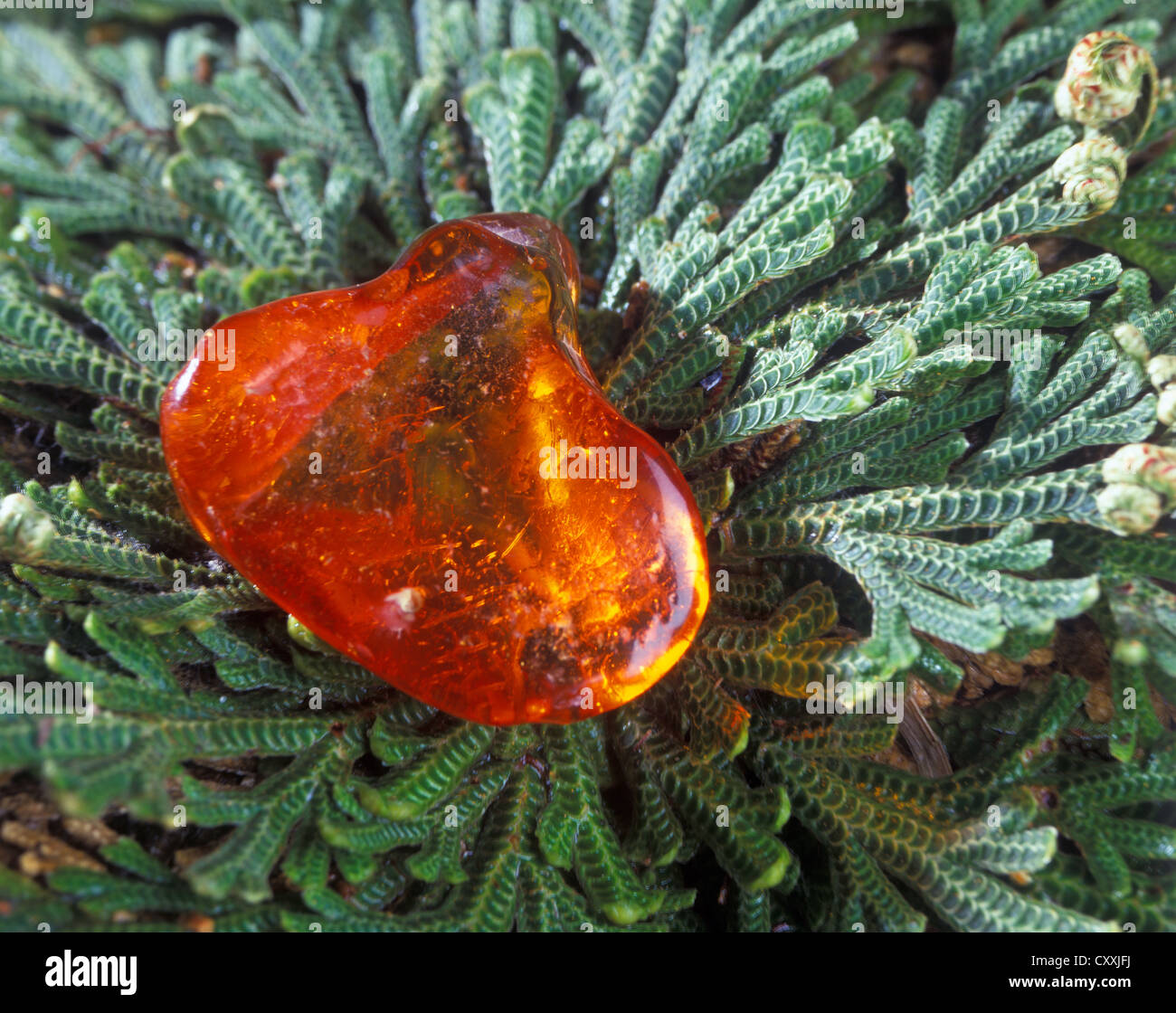 Amber lying on leaves of a rose of Jericho - Stock Image