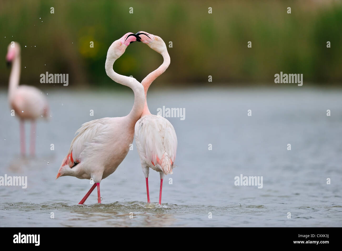 Greater Flamingos (Phoenicopterus ruber), Camargue, France, Europe - Stock Image