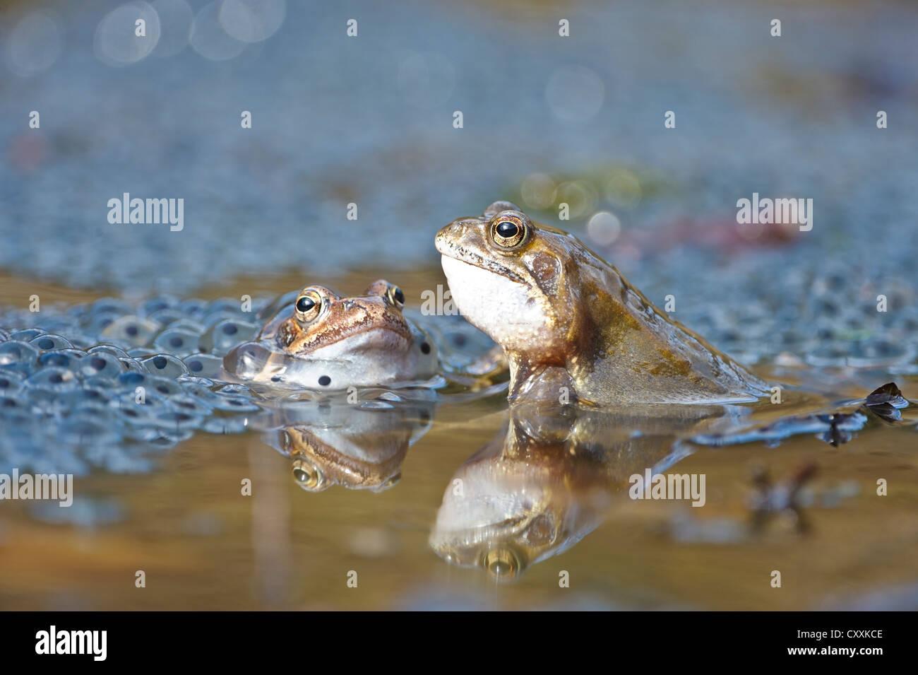 Common frogs (Rana temporaria), spawn, Kalkalpen, Limestone Alps National Park, Upper Austria, Austria, Europe - Stock Image