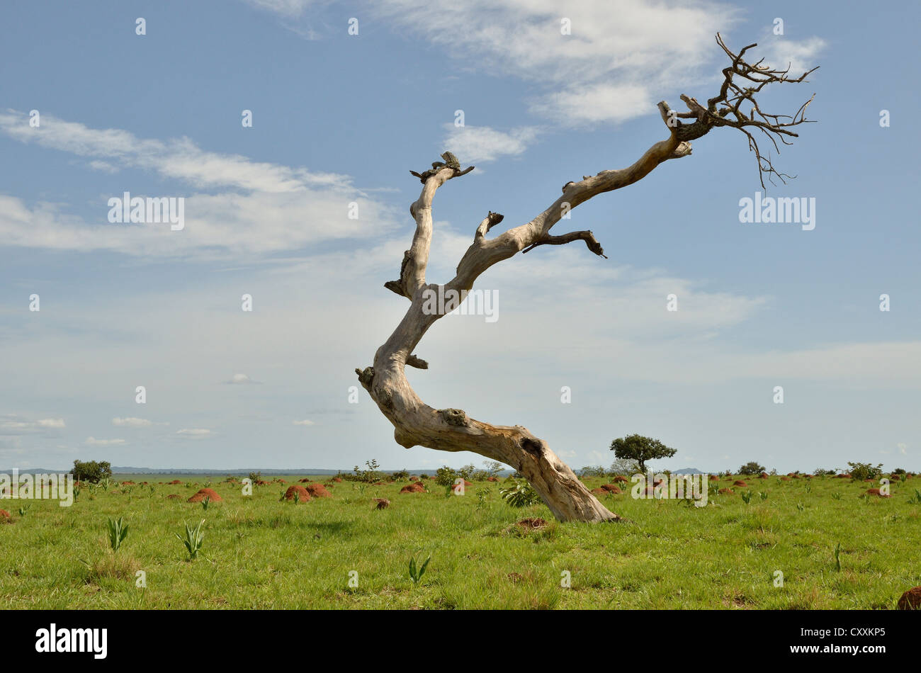 Dead tree near Idool, near Ngaoundéré, Cameroon, Central Africa, Africa - Stock Image