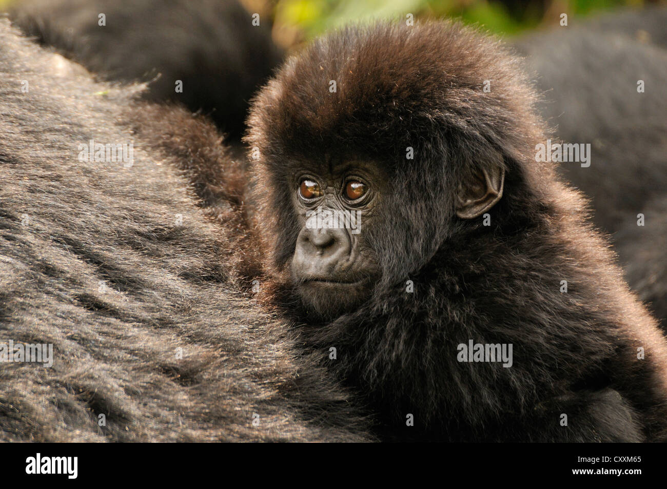 Baby Mountain Gorilla (Gorilla beringei beringei) from the Hirwa group at the foot of the Gahinga Volcano - Stock Image
