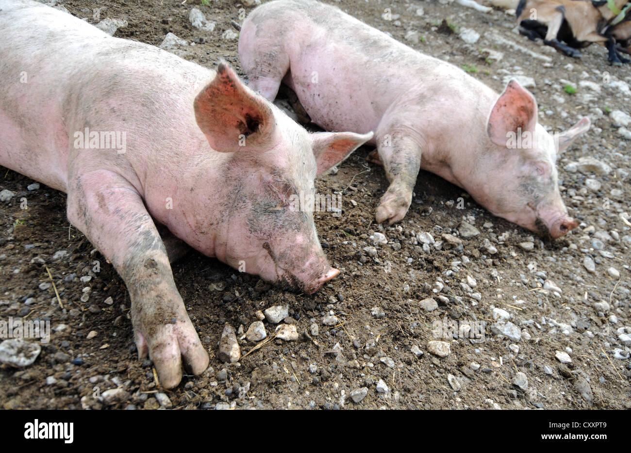 Pigs, sleeping pig, pigs asleep - Stock Image