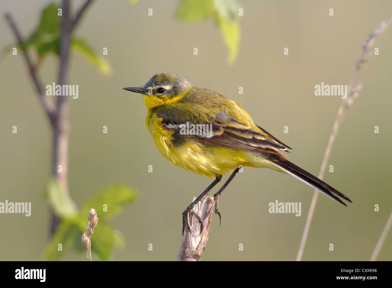 Yellow wagtail (Motacilla flava), male singing, perched on its song post, Lake Neusiedl, Burgenland, Austria, Europe Stock Photo