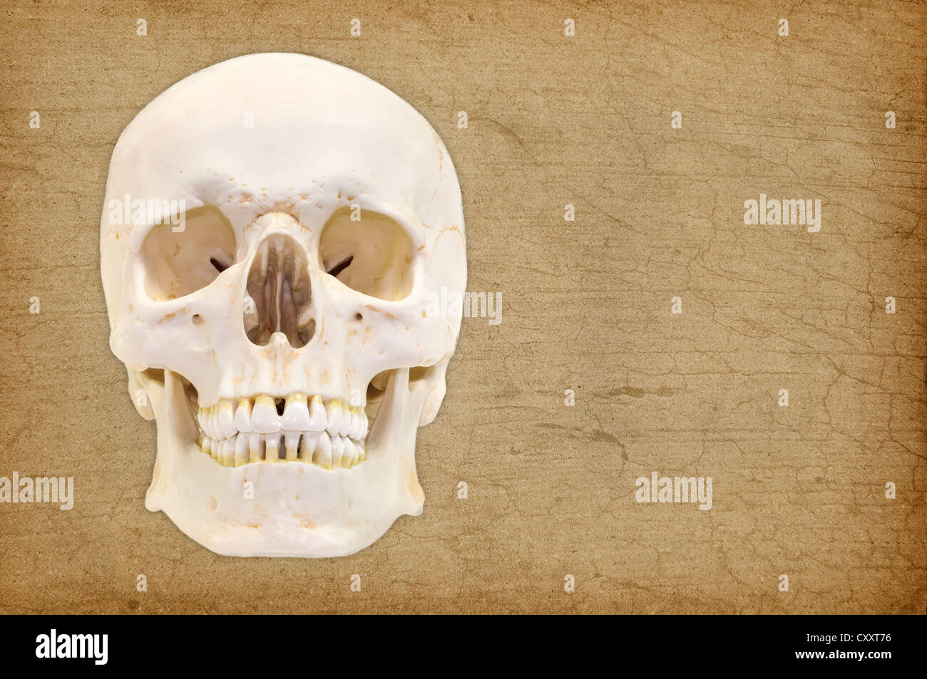 Model Skull Stock Photos Model Skull Stock Images Alamy