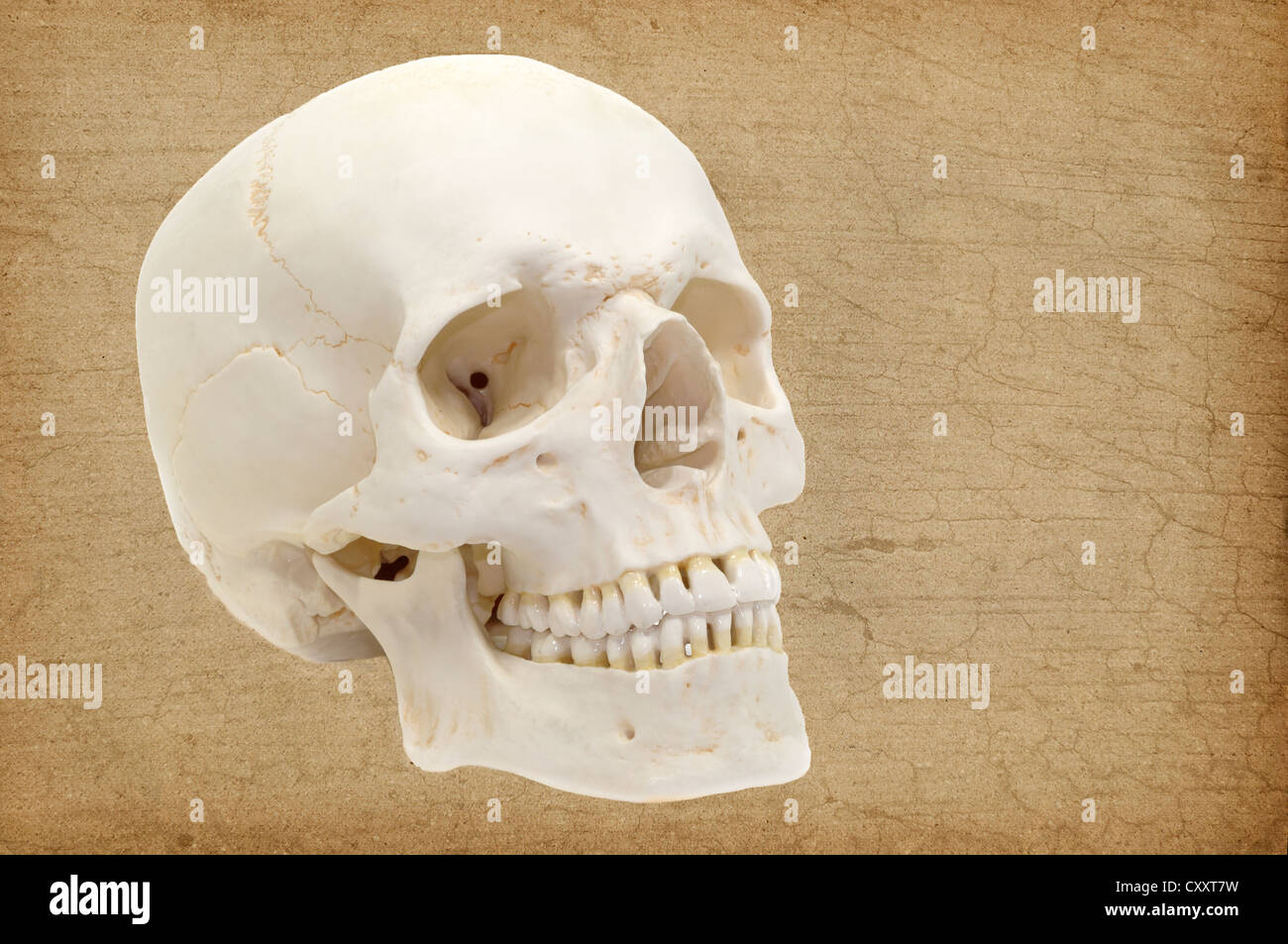 Human skull, anatomical model, anatomy - Stock Image