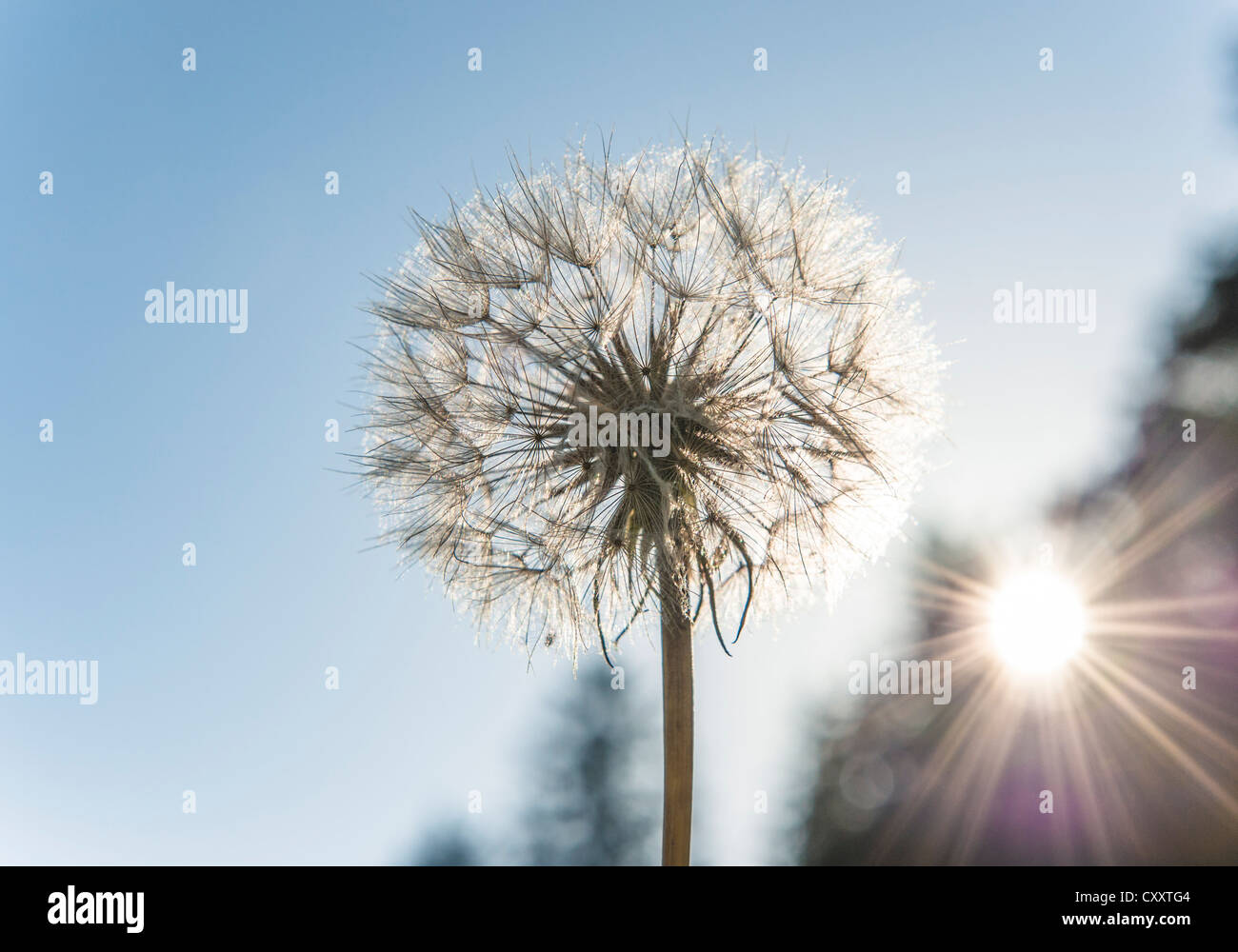 Dandelion, withered dandelion, blowball, dandelion clock (Taraxacum), with diaspores, seeds - Stock Image