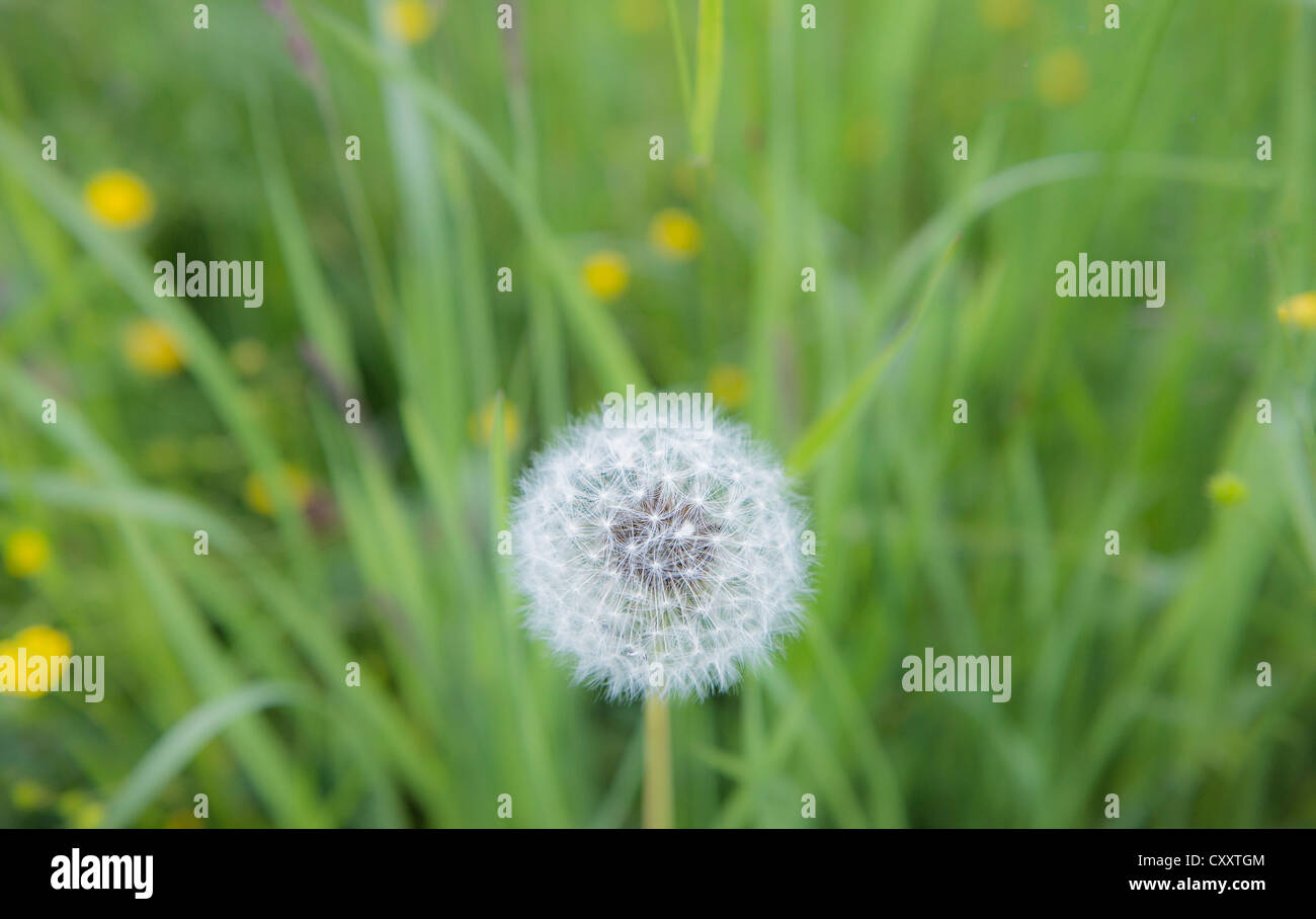 Dandelion, withered dandelion, blowball, dandelion clock (Taraxacum), with diaspores, seeds, on a green lawn - Stock Image